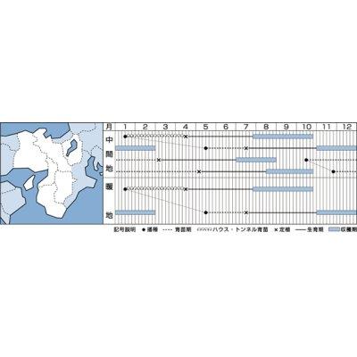 画像2: [シーダー種子] ねぎ ホワイトスター1粒×3cm間隔