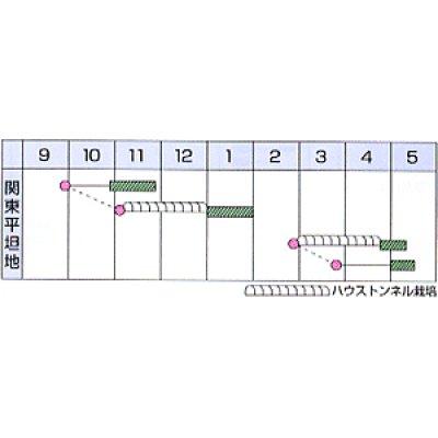 画像2: [シーダー種子] 小松菜 よかった菜 1粒×5cm間隔
