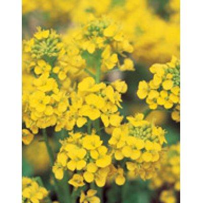 画像3: [花種/小袋]  景観用 ボリュームパック 菜の花 寒咲系混合 サカタのタネ