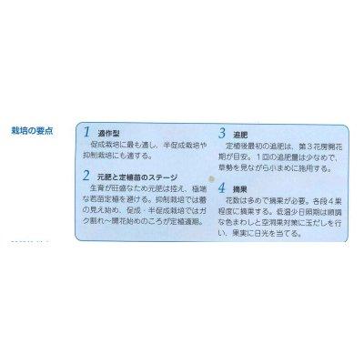 画像3: [トマト/桃太郎系] 桃太郎ネクスト 1000粒 タキイ交配