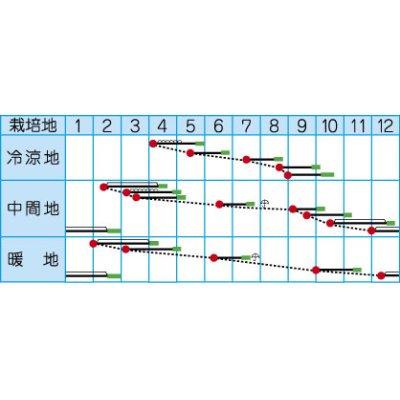 画像2: [小松菜] 京小判小松菜 6ml  高農交配