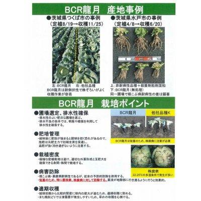 画像5: [キャベツ] BCR龍月 2000粒  タキイ交配