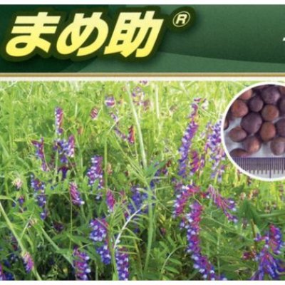 画像2: [緑肥] ヘアリーベッチ まめ助 1kg 雪印種苗