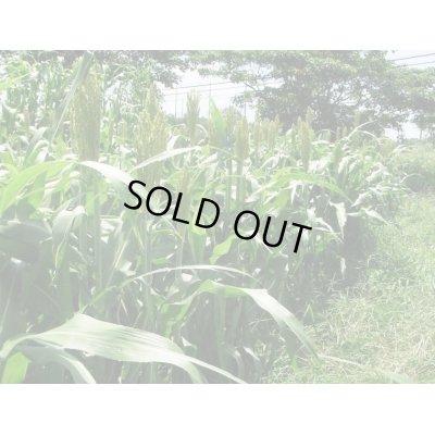 画像2: [緑肥] 短尺ソルゴー 1kg  雪印種苗株式会社